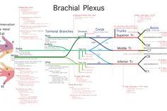 BRACHIAL PLEXUS LESION GUIDE