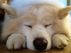 Snowball, the Sleeping Samoyed - Imgur