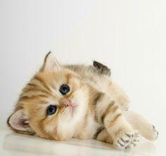 Cute dark blue eyed British shorthair kitten photo posted by sweet_beast on Instagram