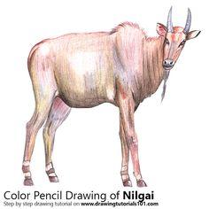 Nilgai with Color Pencils [Time Lapse]