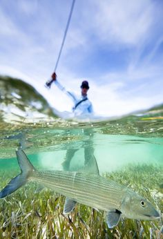 Throw a dog a Bone! Throw a dog a Bone! Bonefishing in crystal clear waters. Pike Fishing, Trout Fishing, Fishing Tips, Fly Fishing, Fishing Basics, Saltwater Flies, Saltwater Fishing, Fishing Photography, Underwater Photography