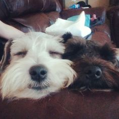 All time faves!   A community of Schnauzer lovers!