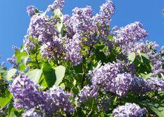 Syreenipensas. Garden, Garten, Lawn And Garden, Gardens, Gardening, Outdoor, Yard, Tuin