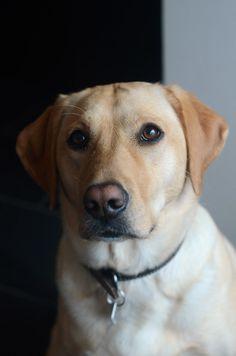 Lab Puppies, Cute Puppies, Cute Dogs, Golden Retrievers, Black Labrador, Golden Labrador, Yellow Labrador Puppies, Labrador Dogs, Black Labs