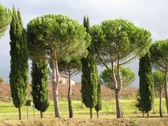 Italian stone pines, unlike olive trees, are said to be both drought-resistent and low-allergy.
