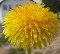 Edible flower - Dandelions are sweet and honey-like in flavor. The petals contain more iron than spinach and have a high percentage of vitamin A and vitamin C.