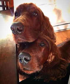 Irish Setters. R. Stipcak. We are not begging.