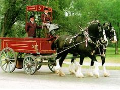 """Shire draft horses. The Shire horse was bred to be a draft horse, pulling loads or plows through heavy soil.  The """"feathers"""" -- the long hairs on the lower legs -- help the leg skin stay healthy and dry in damp conditions."""