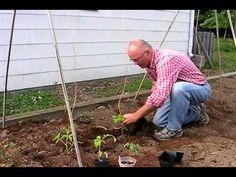 Tomato Growing Secrets: Planting tomatoes