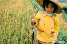 MPs refuse to eat #GM foods – but tell the people of the UK they are 'safe' – and the lies of #Syngenta's golden rice