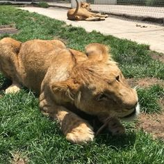 Cheyenne biting a stick, Acapulco eating grass and the rest just chilling. I think that the Super Pride has gone hippie... #SuperPrideBJWT #SaveLions #SaveOurPlanet #BeHuman #NotPets #NoSonMascotas #BlackJaguarWhiteTiger #RescuedLions