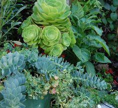 Euphorbia myrsinites 8