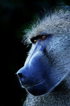 Baboon Thoughts by Rudi Hulshof on 500px