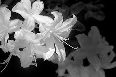 Black and white azalea flowers photography art design by Jennie Marie Schell. #azalea#blackandwhite#gray#flower