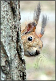 squirrel surprise... Love the way they peek out from behind the tree at you.