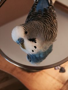 This is Pavel, he's a very photogenic budgie :-) I adopted him three years ago and he's been a part of my life ever since.