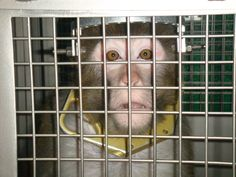 Learn more about PETA's Air Cruelty campaign and what you can do to help stop the transport of primates to labs for cruel experiments!
