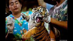 O WWF afirmou que o comércio ilegal está ameaçando cada vez mais as vidas de elefantes, rinocerontes e tigres na África e Ásia. Dezenas de milhares de pessoas são mortos todo ano e existem menos de 3,2 mil tigres na natureza. Acima, um dos 16 filhotes de tigres apreendidos em outubro. Foto: © WWF-Canon /James Morgan