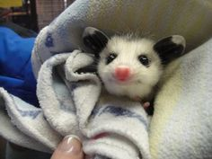 Baby opossums might just be the most heartwarming little critters on the planet.