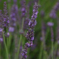 Lavandula x intermedia 'Phenomenal' | Phenomenal Lavender