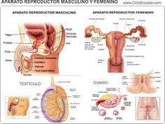 Resultado de imagen para aparato reproductor masculino y femenino