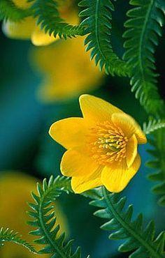 Evening Primrose - - Picture Colors :: Dark Aqua / Teal, Yellow, Green