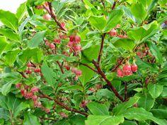 Cittaslow Botanik Park: Ayıüzümü Bir adı da likarpa ( Vaccinium arctostaphylos ) olan  yaban mersini ( ayıüzümü)  çiçeği  (  Resim:Mehmet Tosunoğlu )