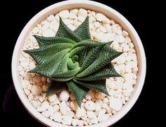 "Haworthia limifolia ""Fairy Washboard"" - ooooh! Lovein this gem! :)"