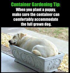 CONSEJO DE JARDINERIA.- Cuando plantes un cachorro asegurate de que el recipiente pueda albergar comodamente al perro de tamaño completo.