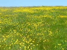 Fields of buttercups Buttercup, Fields, Vineyard, Outdoor, Outdoors, Vine Yard, Vineyard Vines, Outdoor Games, The Great Outdoors