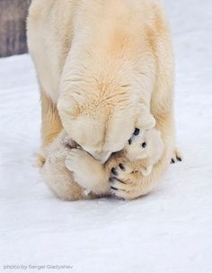 One of several 'Delightful Polar Bears Family Photos' (#11) - photo by Sergei Gladyshev, via Pelfind