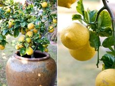 Container gardening for lemon trees. Our eureka lemon tree is doing very well in this container. Pictures of our lemon tree show lots of fruit!