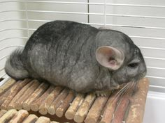 Chinchilla - short-tailed, Bolivian, Peruvian, or royal Rodents, Mammals, Chinchillas, Rabbits, Chinchilla, Rabbit, Bunnies, Hare, Bunny