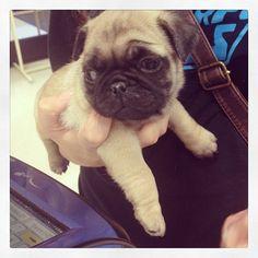 Chubby baby pug