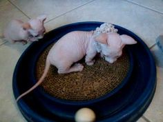 Hairless Sphynx & Hairless Dwarf Bambino Cats & Kittens - YouTube