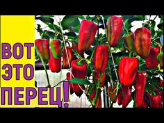 ВЫРАЩИВАНИЕ УРОЖАЙНОГО ПЕРЦА от семян до уборки урожая - YouTube Type 4, Youtube, Gardening, Lawn And Garden, Youtubers, Youtube Movies, Horticulture