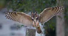 Great Horned Owl Part 2 - Landing