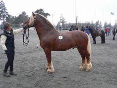 Dølehest - stallion Tylldølen