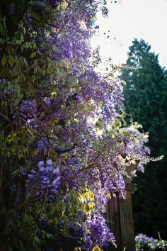 The whimsical and wonderful wisteria lining Eshott Hall. Country House Wedding Venues, Luxury Wedding Venues, Wisteria Wedding, Lilacs, Photo Credit, Weddingideas, Countryside, Whimsical, Wedding Planning