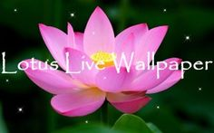"""Find the inner peace! Lotus Live Wallpaper is best application for your smartphone if you want to always have beautiful and attractive flowers on your screen! Get in touch with the nature in your own lotus garden! Choose favourite floral background & relax while delicate blossoms fall down your display! The amazing pictures included in a app with a """"lotus flower"""" here & there will enrich your phone with natural beauty!"""