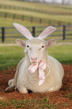 ❤ As Easter approaches ~ the Easter Bunny ears hocus-pocus ~ has broken the pet boundaries & is now loose on the farm! What must the Easter Bunny be thinking? Farm Animals, Funny Animals, Cute Animals, Animal Funnies, Zebras, Lamas, Hoppy Easter, Easter Lamb, Easter Bunny