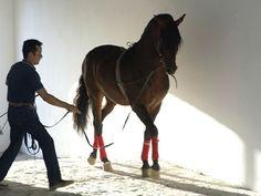 Andalusian Horse / Caballo Andaluz. #Cadiz