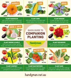 A Quick Guide To Companion Planting - Australian Handyman Magazine infographic, guide to companion p Vegetable Planting Guide, Vegetable Garden Design, Planting Vegetables, Growing Vegetables, Vegetable Farming, Growing Tomatoes, Companion Planting Chart, Companion Gardening, Permaculture