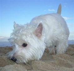 Westie, snufflin' on the beach.