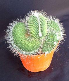 Mammillaria spinosissima unpico crestata Giromagi Cactus