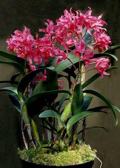 Cattleya guatamalensis