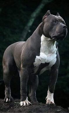 Pitbull Dog Breed, Bully Dog, Amstaff Terrier, Pitbull Terrier, Big Dog Breeds, Scary Dogs, Corso Dog, Huge Dogs, Cute Dogs And Puppies