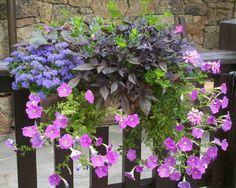 ageratum, sweet potato vine, petunia, ivy geranium
