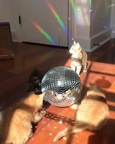 thenatsdorf: Caturday Night Fever (via veggiedayz) Funny Animal Videos, Cute Funny Animals, Cute Baby Animals, Animals And Pets, Funny Cats, I Love Cats, Crazy Cats, Cool Cats, Saturday Night Fever