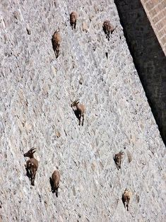 You might remember the photo recently of goats scaling the side of the Buffalo Bill dam? Well, it's sort of real. Here is the link to the Snopes analysis. The verdict? REAL PHOTOGRAPHS; INACCURATE DESCRIPTION http://www.snopes.com/photos/animals/buffalobill.asp --Posted to DESERT HEARTS Animal Compassion -  Phoenix, Arizona –1/16/2014 https://www.facebook.com/desertheartsphoenix